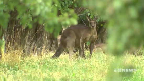 Aggressive Kangaroo